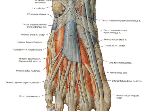 The forgotten muscles in your feet… and bunions.