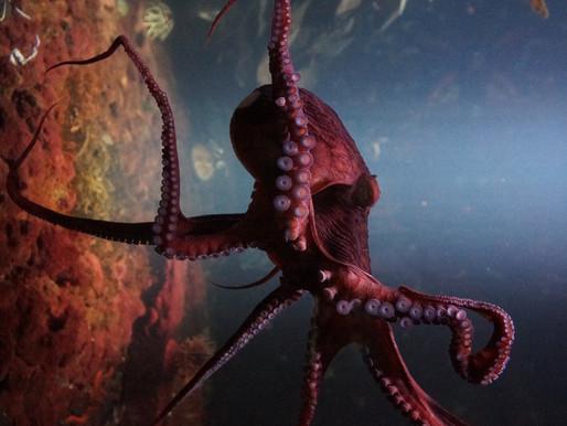 Octopus.... Alien des mers