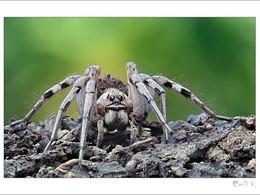Pre-copulatory sexual cannibalism in virgin wolf spiders