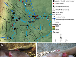 Scientists overcome the inaccessibility of cave habitats through molecular genetic approach