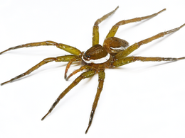 Call for Dolomedes material and collaboration