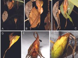 New EZ pub on leaf masquerade in spiders