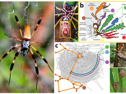 Major advance in study of spider silk genes!