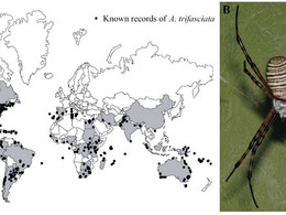 Biogeography of the globally distributed Argiope trifasciata