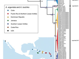 Phylogeography of Argiope argentata and A. butchko sp. n.