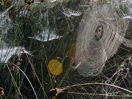 Spider webs as a source of eDNA