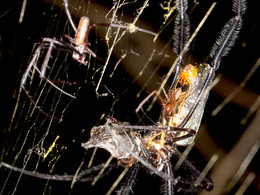 Discovery of heterospecific mating in spiders