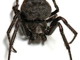Cross-sex genetic correlation & SSD in spiders