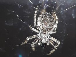Genetic architecture of behaviors in a spider