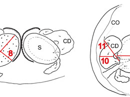 Coevolution of female and male genital components in SSD spiders