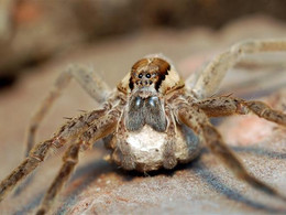 Female aggression and cannibalism in raft spiders
