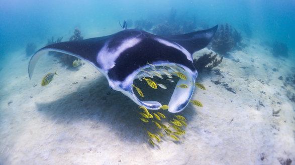 Manta Ray Swim