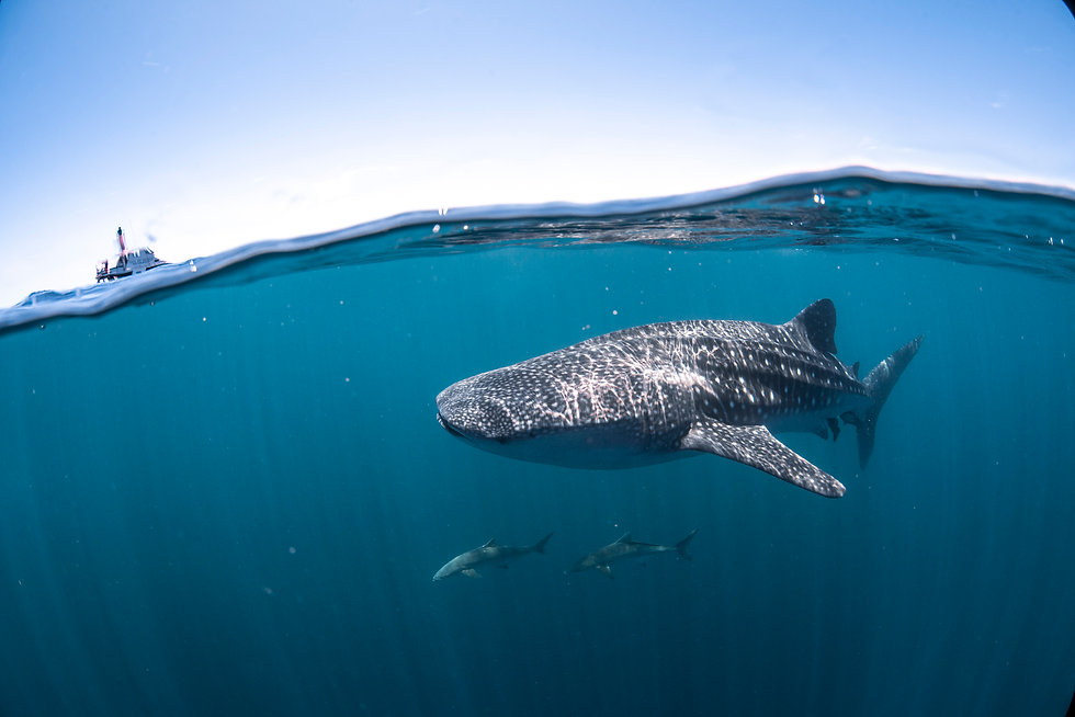 Whale Shark swimming past the whale shar