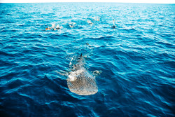 swim with Whale sharks in Coral Bay