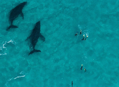 How Humpback Whales Communicate?