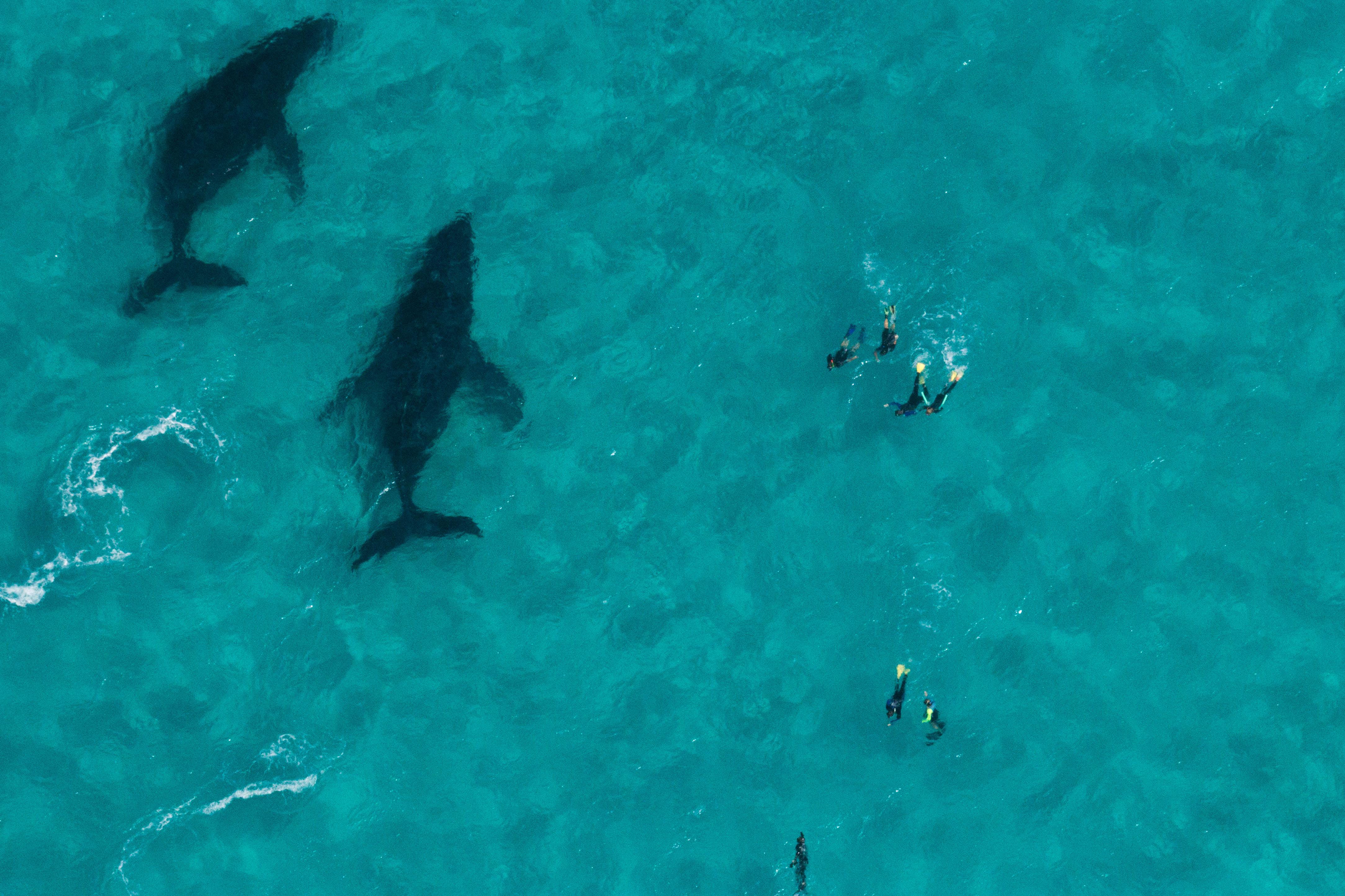 Humpback Whale Swim