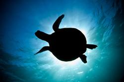 Green sea turtle at Coral Bay