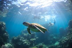 swim with green sea turtles