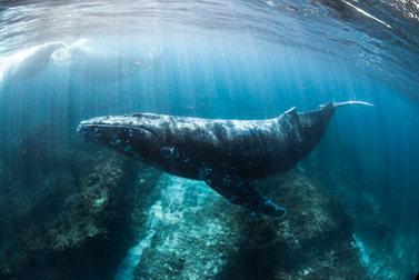 Humpback Whale Swim.JPG