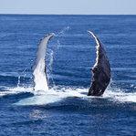 Humpaback Whale Swim