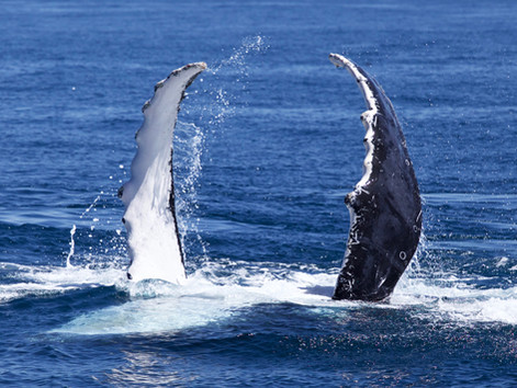 Humpback Whale swims approved to start 1st July in Coral Bay for 2018!