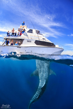 Whale shark approaching the boat
