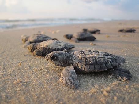 Turtle Loving Fun - Zihuatanejo Sea Turtle Release