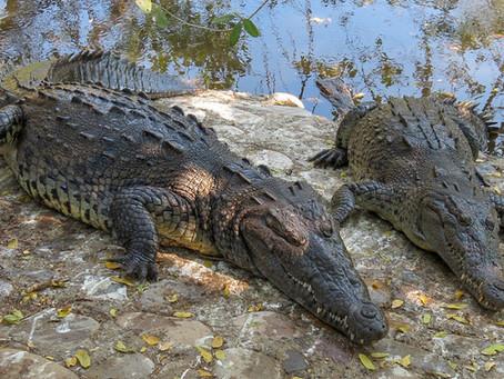Ixtapa Crocodiles…Something to See!
