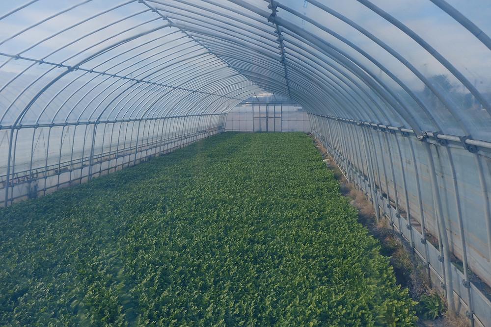 水田自体をすっぽり覆うハウス栽培も並行して行われています。