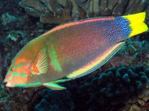Yellowtail Coris