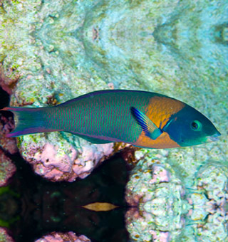 Saddleback Wrasse