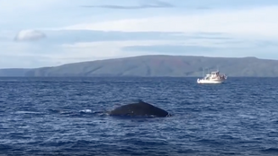 Pacific Whale Foundation has it's First Sighting of the Fall!