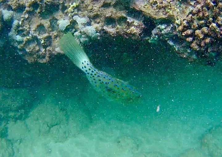 Broomtail Filefish