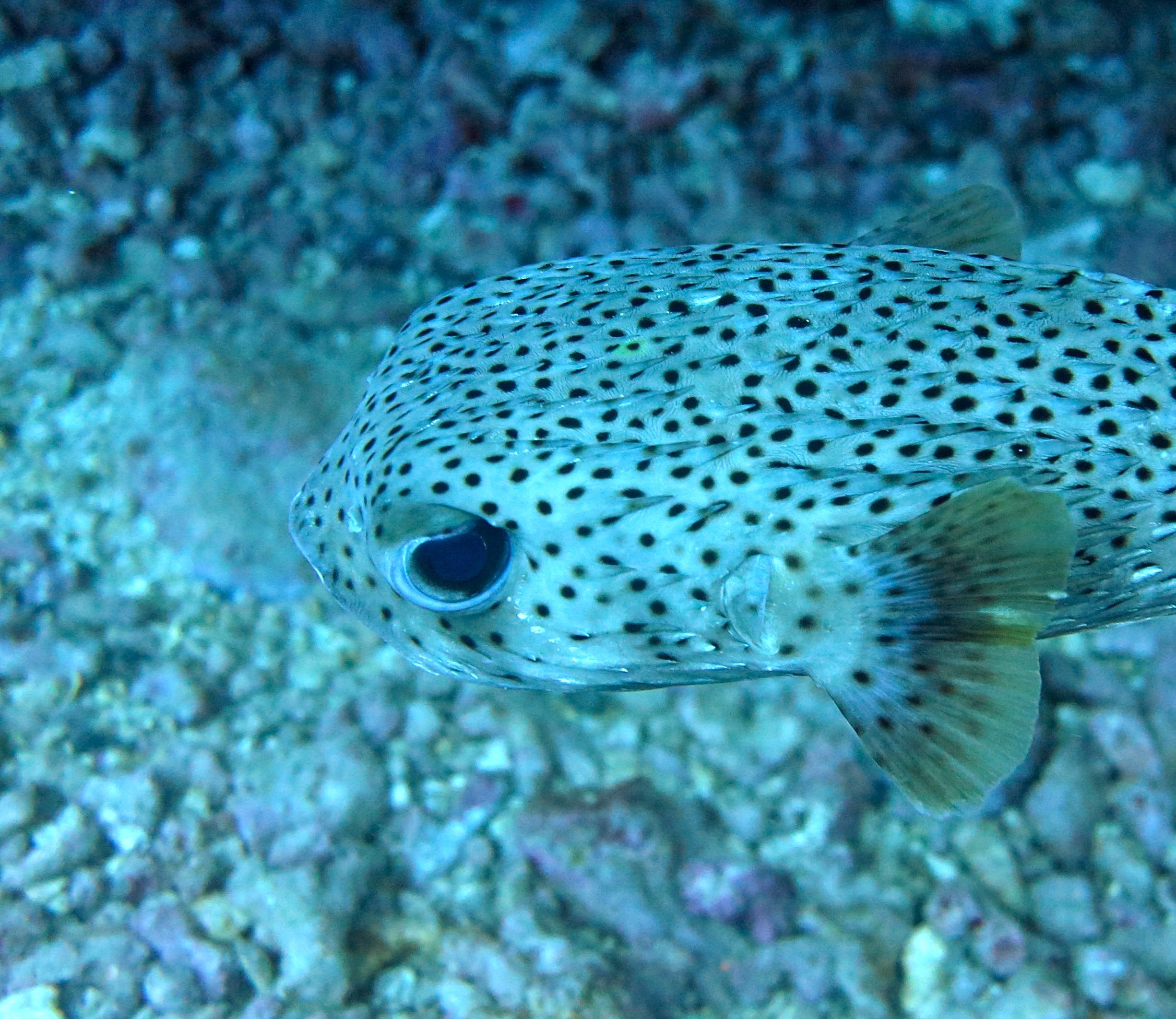 (Kokala) Porcupine Pufferfish