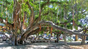 Lahaina's Famous Banyan Tree