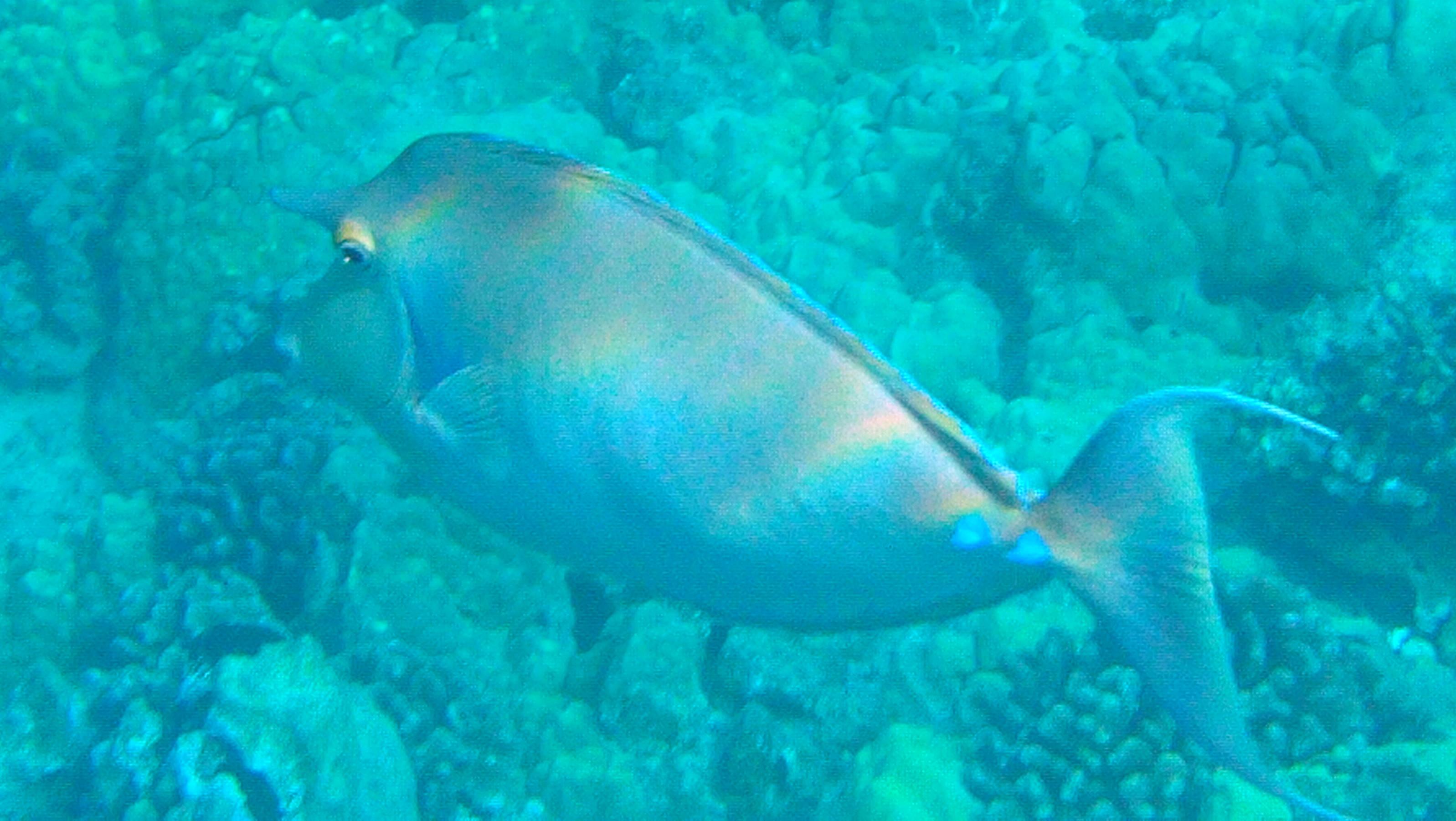 (Kala) Unicornfish