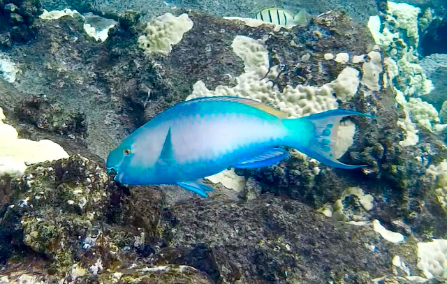 (Ulu) Blue Parrotfish