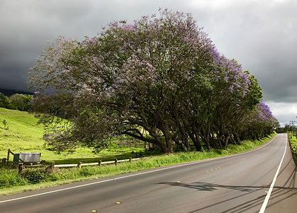 Jacaranda Trees fill the landscape in Upcountry Maui.