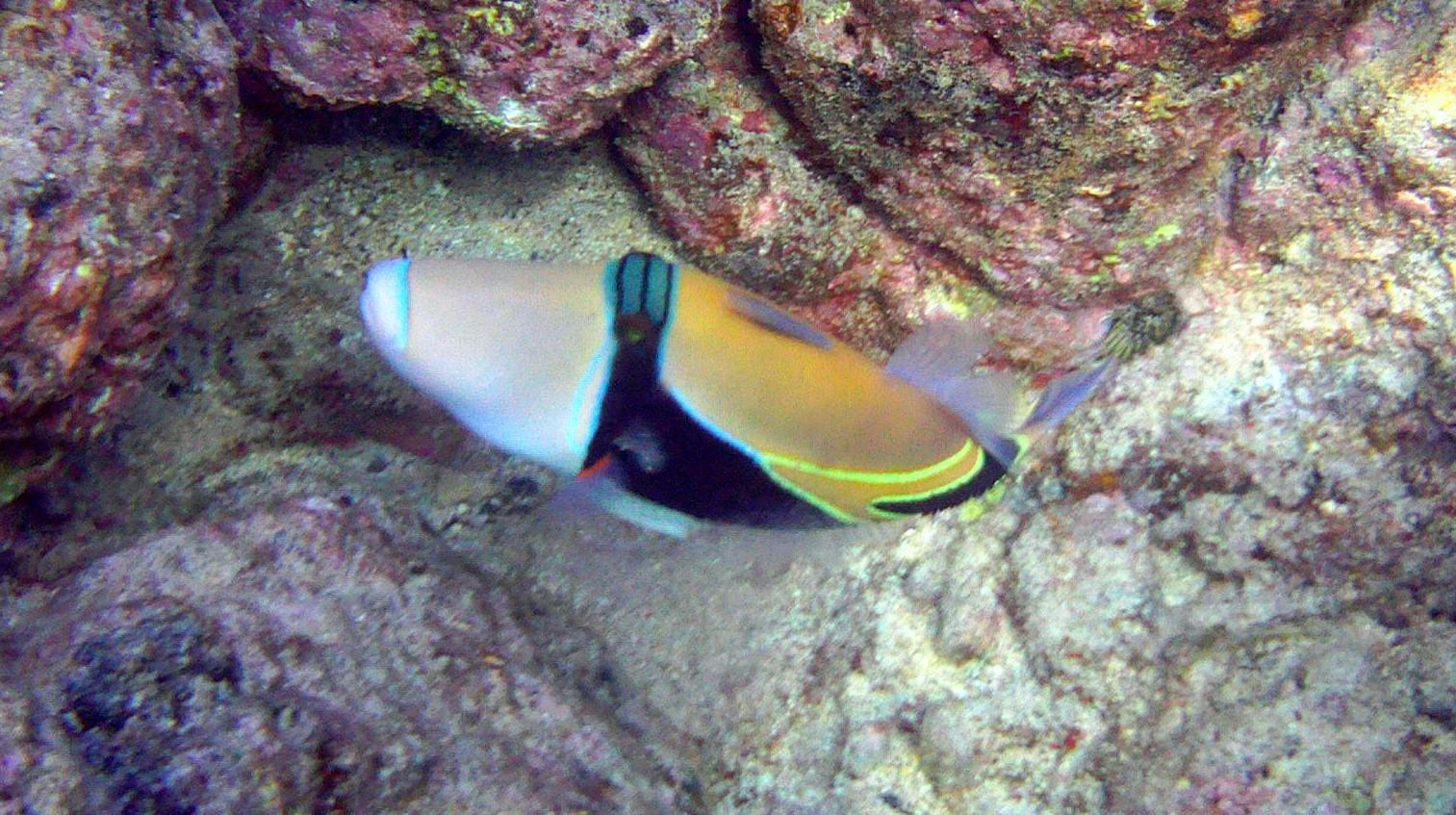 (Humuhumunukunukuapua'a) Triggerfish