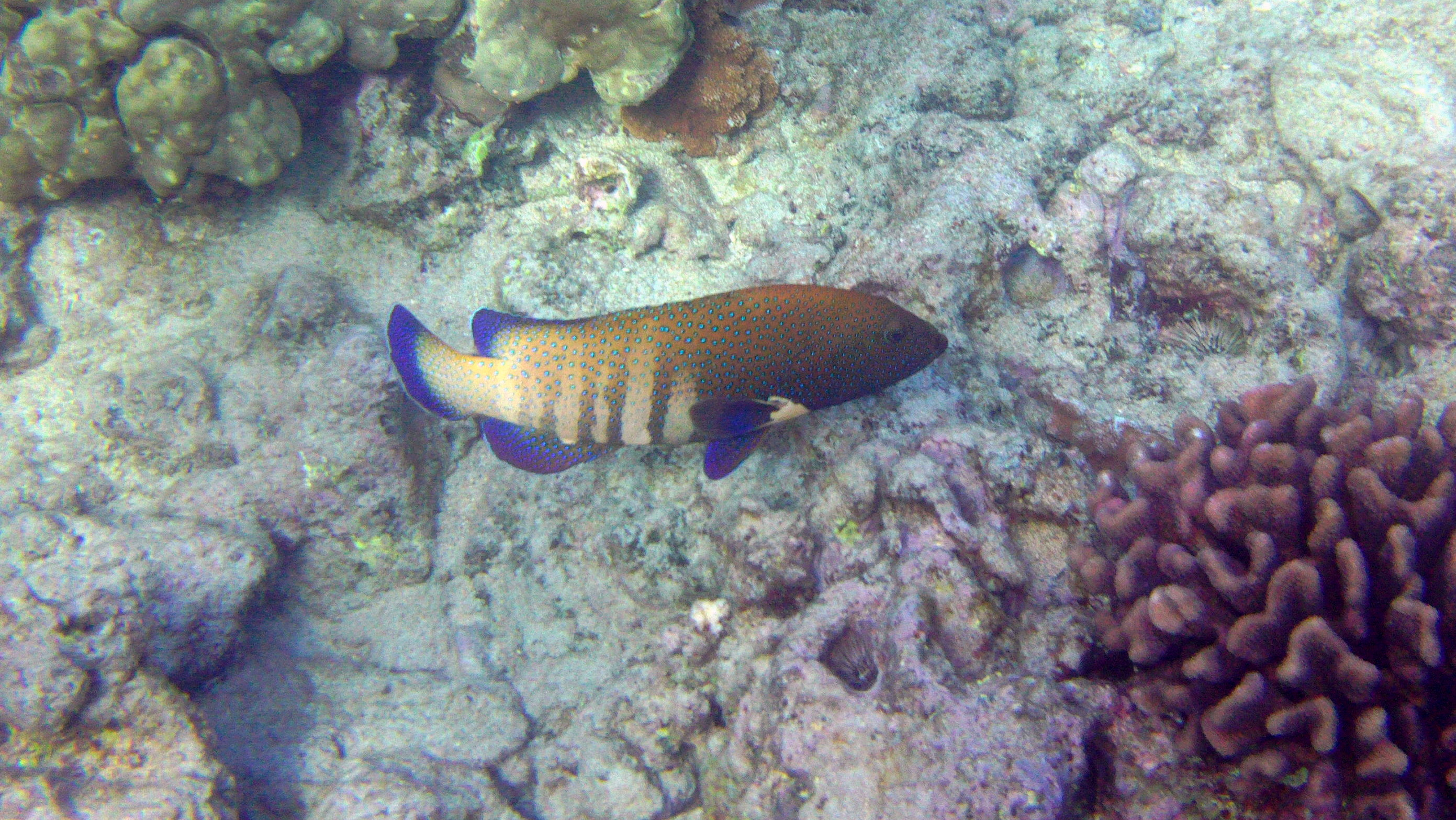 (Roi) Peacock Bluespotted Grouper