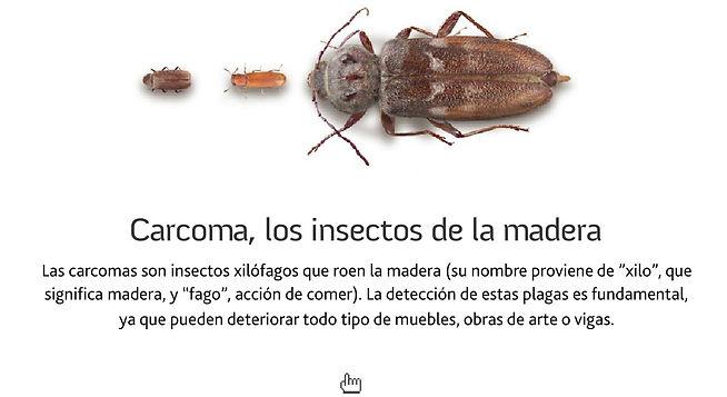 carcoma insecto come madera