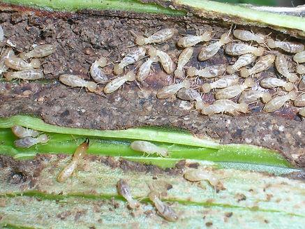Termitas alimentandose