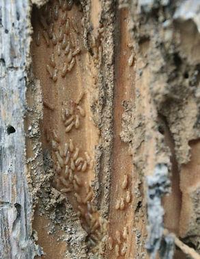 Termitas devoran madera