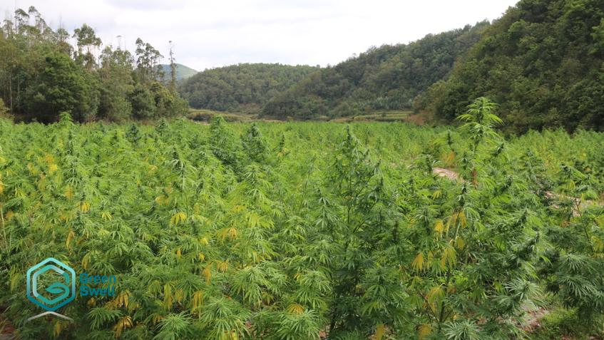 Chuxiong_hemp_farm_Green Swell_楚雄_工業大麻_農場_綠寶