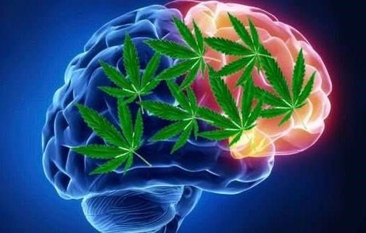 科學家認為大麻可以修復腦細胞和提高記憶力
