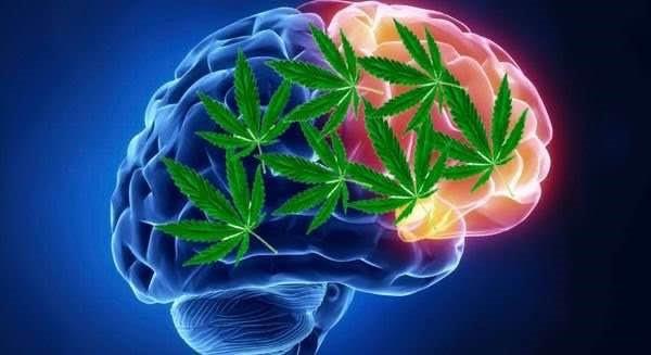 大麻_腦細胞_記憶力