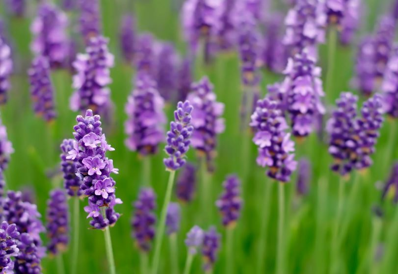 Lavender Outside