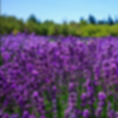 Lavender Field 1.PNG