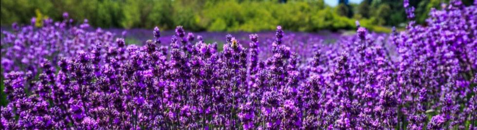 Lavender%20Field%201_edited.jpg