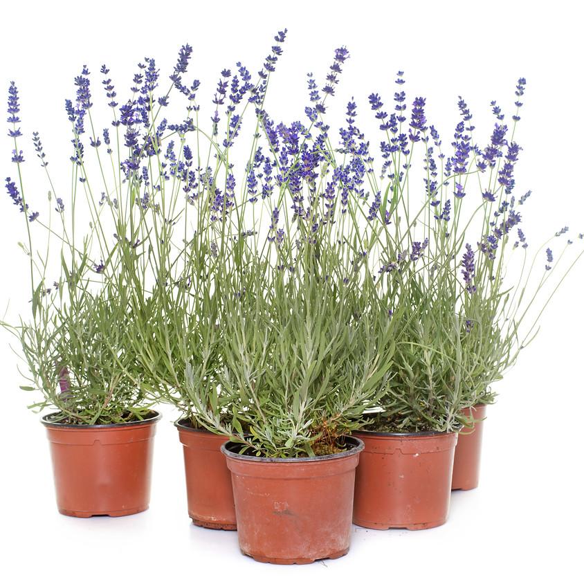Lavender 101: U-Pick + Plant + Learn